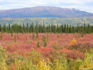 Alaskan boreal forest with green and red vegetation in the foreground and mountains in the background