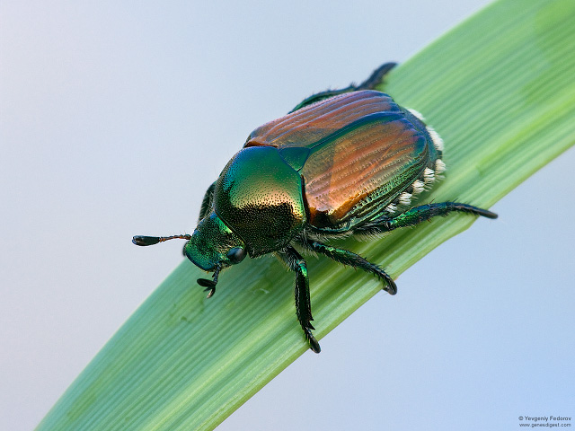 Japanese beetle (Popilia japonica) on green blade of grass with white background.