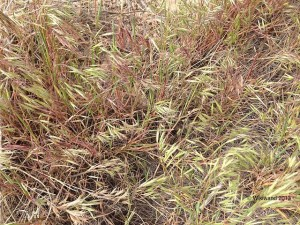 Close-up of cheatgrass