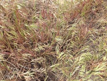 Close-up of cheatgrass