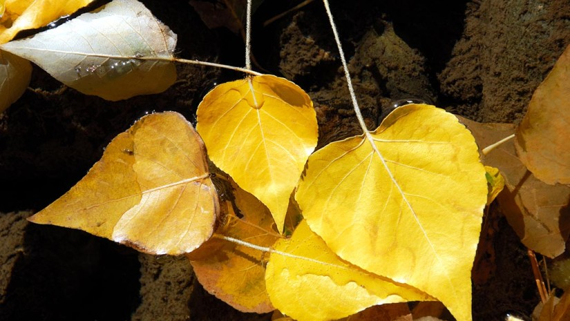Detail of Yellow Fremont Cottonwood Leaves in Autumn Stream