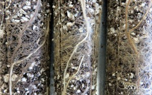 Roots exploring native soil (inoculum) layered within a background mix of potting soil