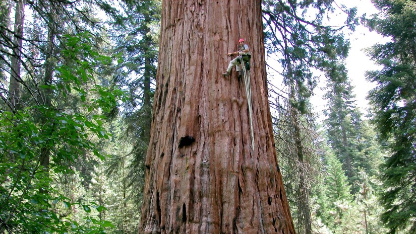 Researcher climbing a large redwood tree.