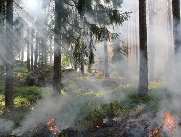 Low intensity fire burning through understory of a mixed conifer forest.