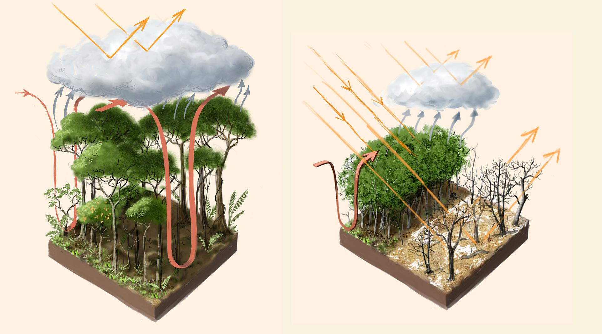 leshyk illustration rainforest temperate flux