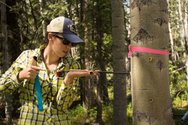 norma rivera core from aspen tree in alaska